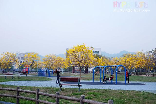 廍子公園 黃花風鈴木 (13)