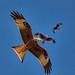 Red Kite / Milvus Milvus by gerardcaffreys Images