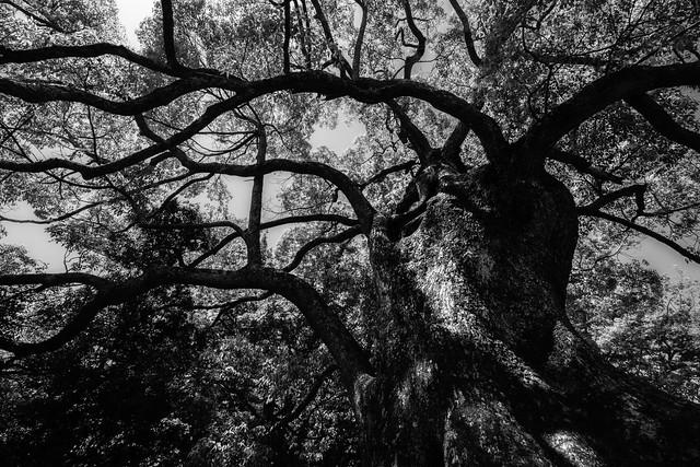 Old of Quercus gilva Blume