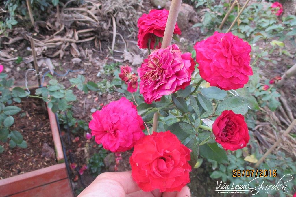 hong leo mong thi (3)-vuonhongvanloan.com