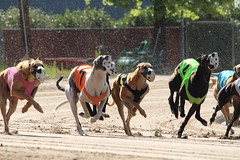 Here come the greyhounds at Southland Greyhound Park