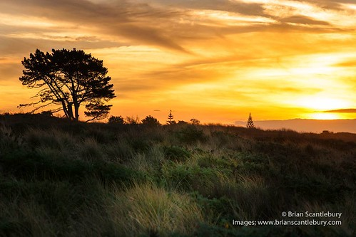 Lone pine over Papamoa dunes. #tree #Lonepine #papamoa #papamoabeach #mountmaunganui #tauranga #newzealand #newzealandimages  #newzealandphotography #sunset #brilliantearth #dunes #goldenhues #brianscantlebury #brianscantleburyphotos  #www.brianscantlebur