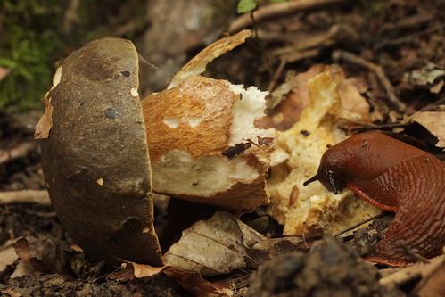 Dark Cep - Boletus aereus