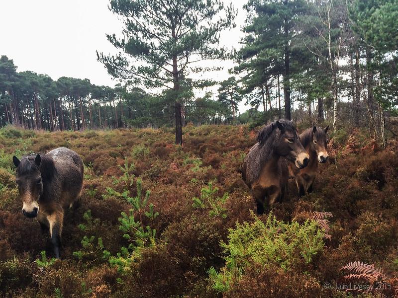 The Exmoor Ponies wander over
