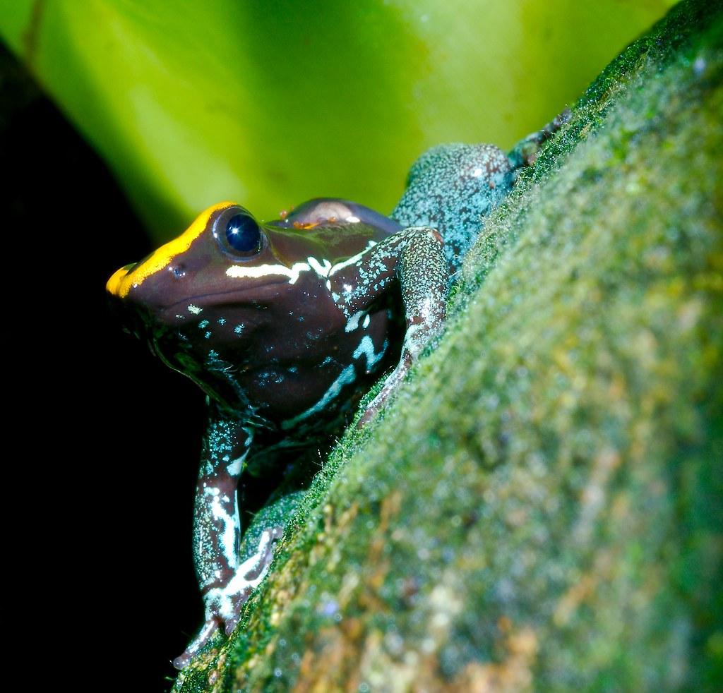 Golfodulcean Poison Frog (Phyllobates vittatus)_2