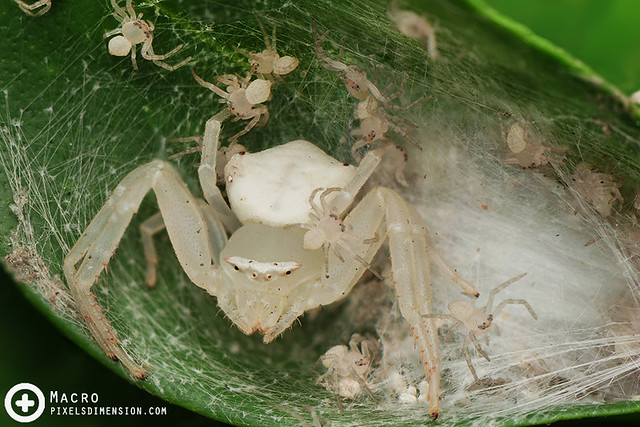 White Crab Spider and spiderlings- Thomisus sp. ♀