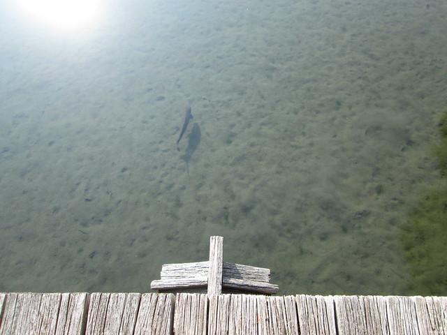 grey fish