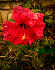 Rain Drops On Red Hibiscus