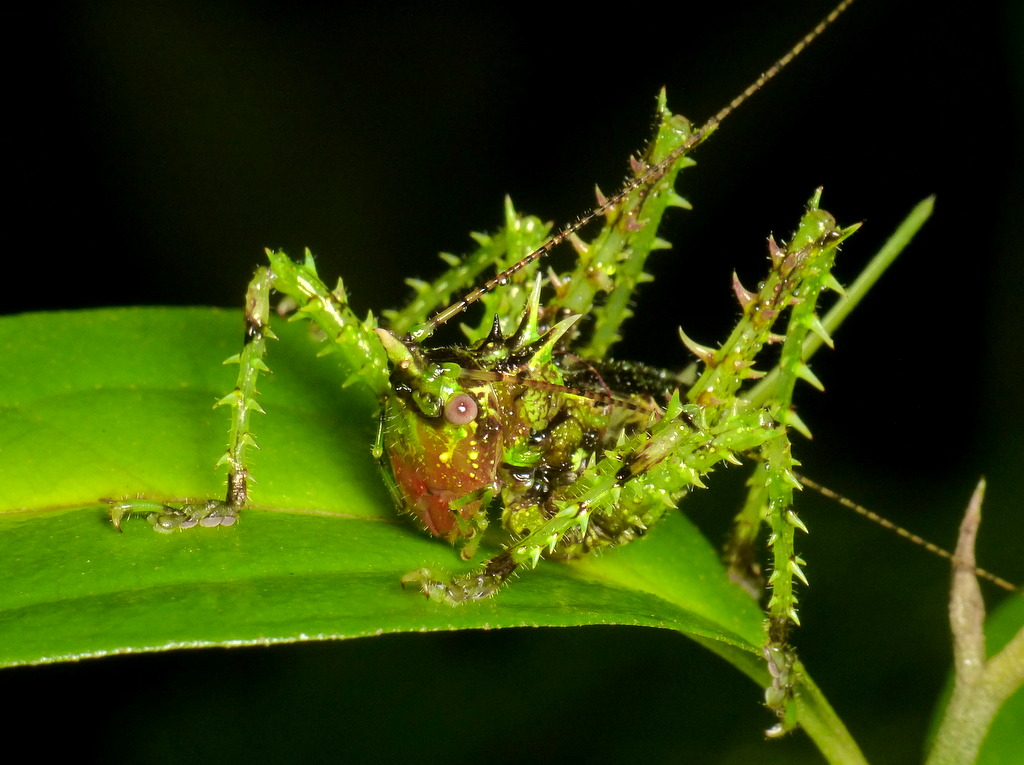 Spiny katydid, Panacanthus sp.?