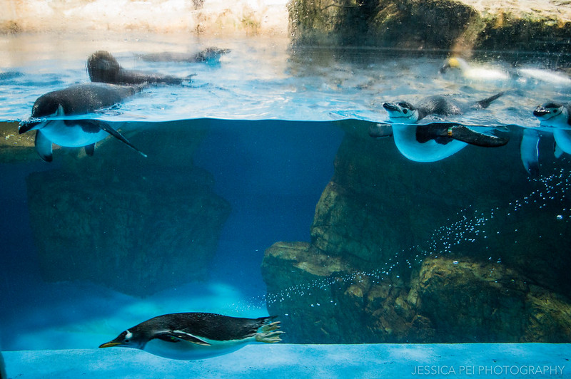 Swimming Penguins Sea World San Antonio Texas