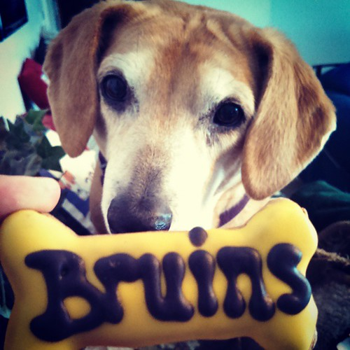 Sophie's routing for #Bergeron in the All Star Game! @nhlbruins #GoBs #bostonbruins #Bruins #dogtreat #dogstagram #instadog #rescued #houndmix