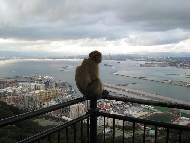 UK - Gibraltar - Monkey