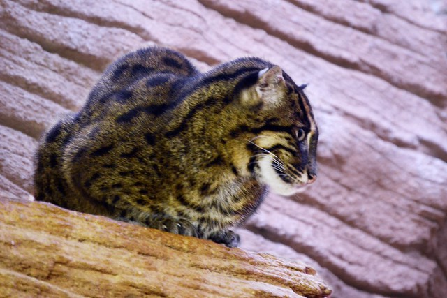 Perched Fishing Cat
