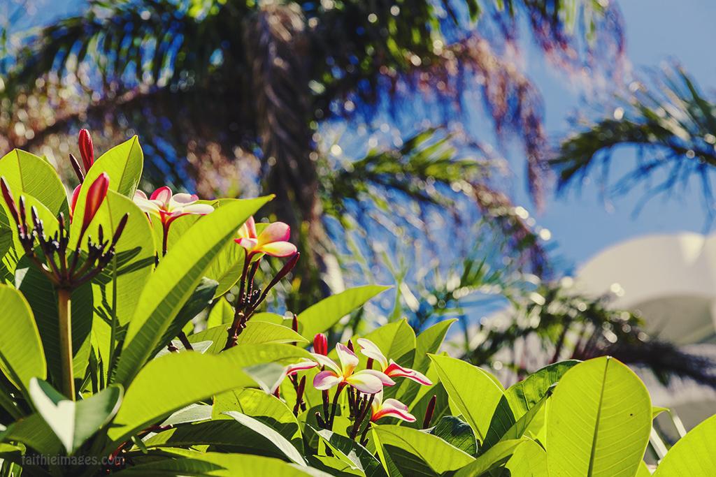 Pink frangipani or plumeria tree