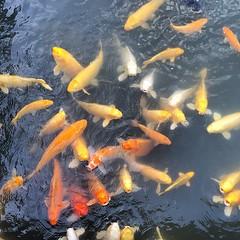fish, yellow, fish, fish pond, marine biology, koi,