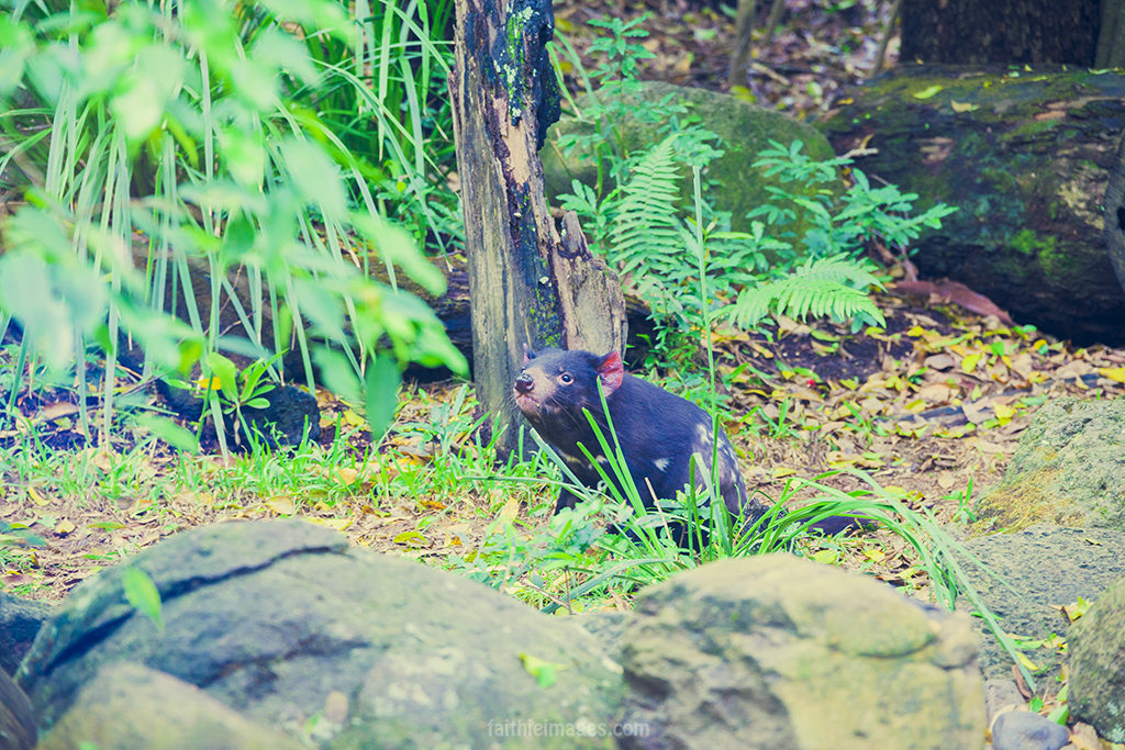 Inquisitive Tasmanian devil