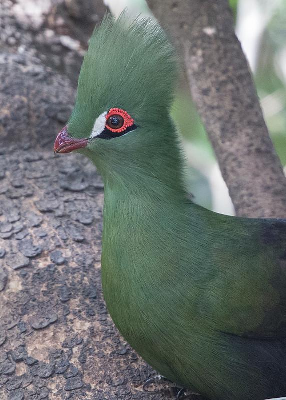Green Turaco Gambia