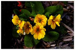 pansy(0.0), annual plant(1.0), flower(1.0), leaf(1.0), yellow(1.0), plant(1.0), wildflower(1.0), flora(1.0), primula(1.0), petal(1.0),