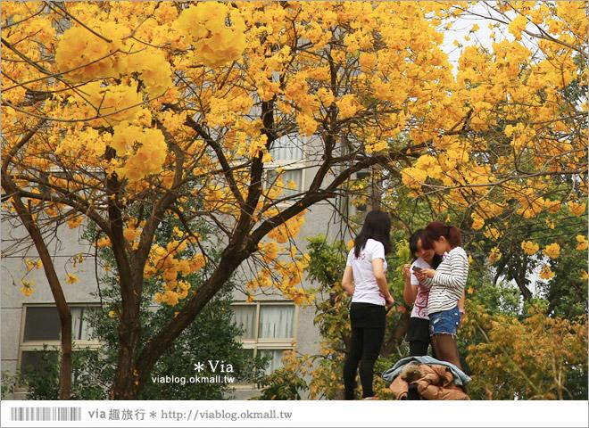 【嘉義景點】嘉義軍輝橋黃金風鈴木~全台最美的堤防!開滿滿的風鈴木美炸了!24
