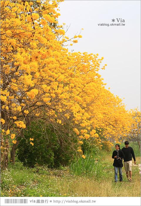 【嘉義景點】嘉義軍輝橋黃金風鈴木~全台最美的堤防!開滿滿的風鈴木美炸了!12