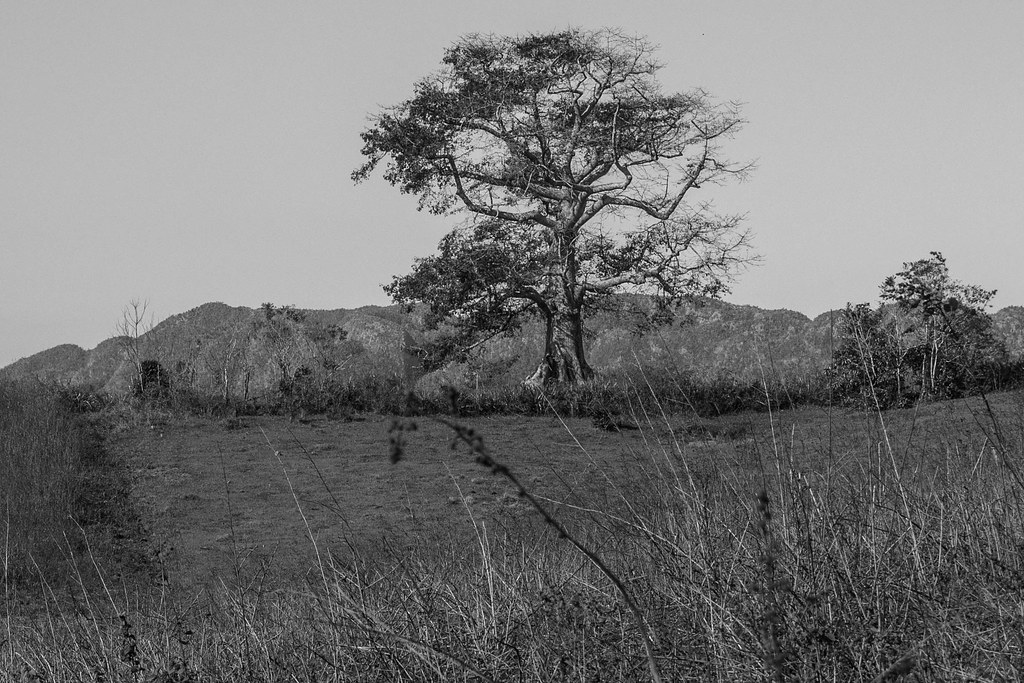 Scraggly tree, mountains and dead grass in Vinales, Cuba black and white_.jpg