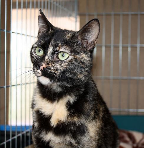 FALLECIDA- Mandala, preciosa gatita carey dulcísima de ojos verdes esterilizada, nacida en Julio´14, en adopción. Valencia. 16615333539_e3d6f76732