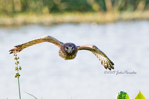 Northern Harrier approaching