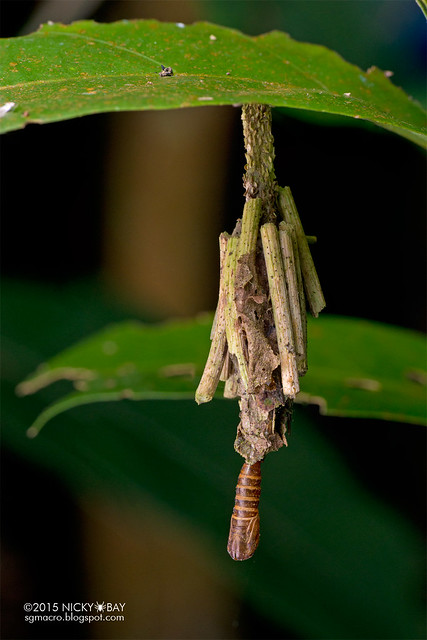 Bagworm moth pupa (Eumeta sp.) - DSC_1629