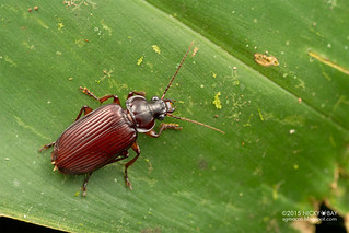 Ground beetle (Orthogonius sp.) - DSC_3553