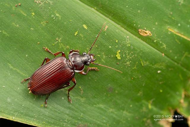 Beetle - DSC_3553