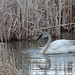 Trumpeter Swan, Elk Refuge Wetlands. by scepdoll