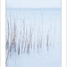 Reeds by jools_b