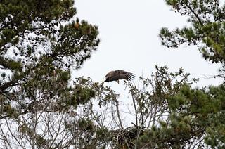 Eagle Spotting - XLI