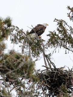 Eagle Spotting - XL