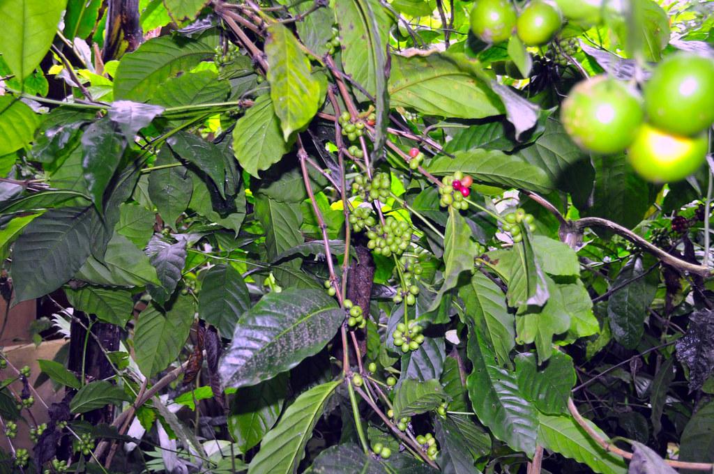 Granos de café que se come el Luwak Kopi Luwak, el café más caro del mundo - 16813720601 613f9fb102 b - Kopi Luwak, el café más caro del mundo