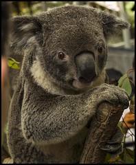 Koala in Brisbane Mall-1=