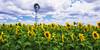 Allora sunflowers, Qld, Australia.