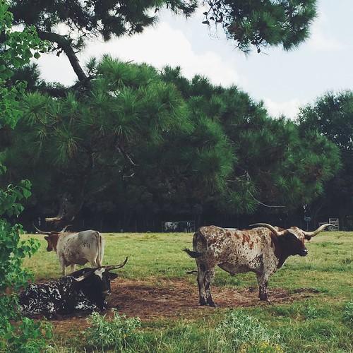 usa cow texas magnolia longhorn