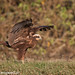 uttampegu posted a photo:Eurasian Marsh Harrier landing at Menar, Udaipur, Rajasthan