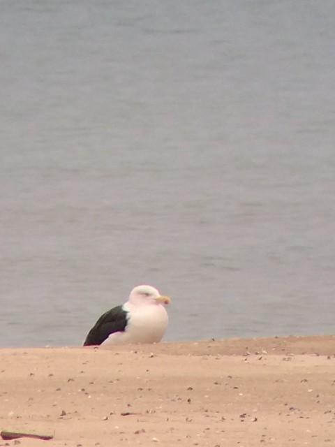 Great Black-backed Gull, Miller Beach, IN