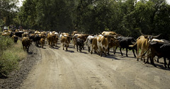 reason for the end of long cattle drives