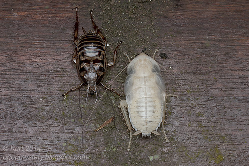 Blattodea_MG_4755 copy