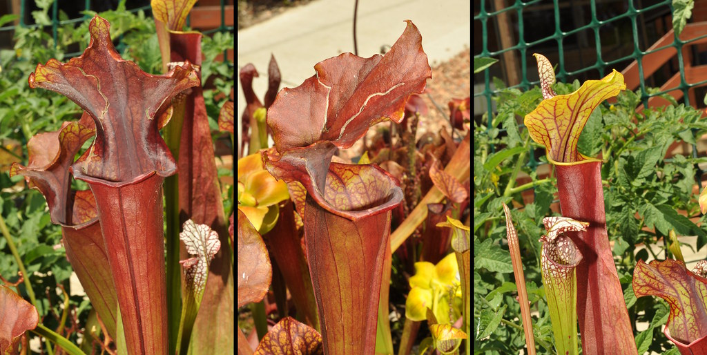 Sarracenia flava hybrid, all red