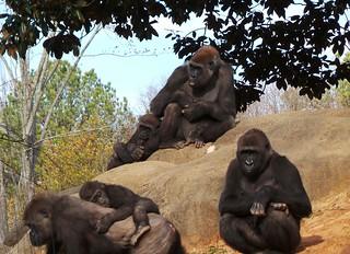 Taz's family group at Zoo Atlanta