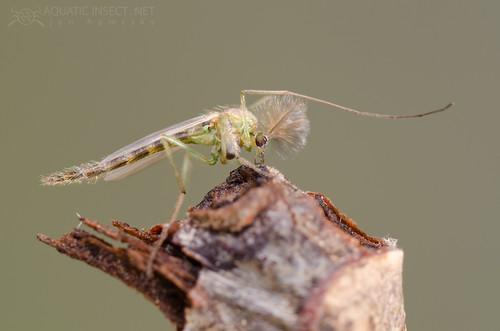 Non-biting midge (Chironomidae), adult male