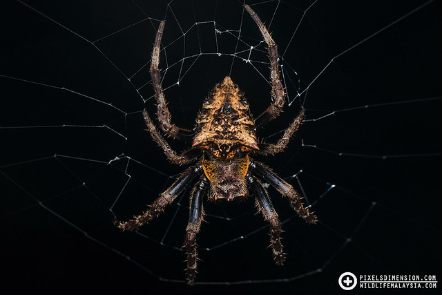 Garden Spider- Parawixia sp. ♀
