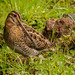 Noble Snipe - Photo (c) Jei Pov, some rights reserved (CC BY-NC-SA)