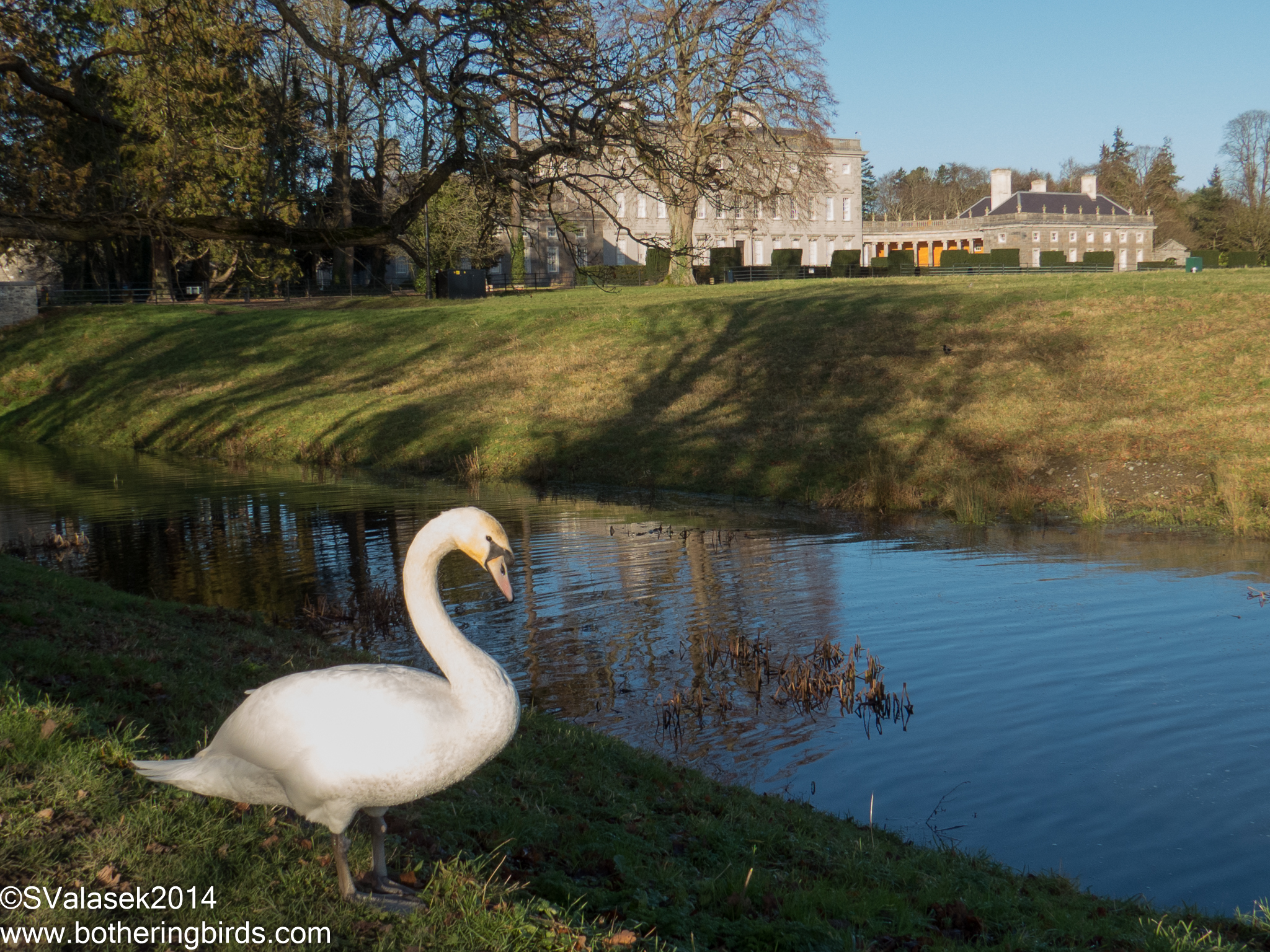 Mute Swan and Castletown House