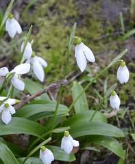 erythronium(0.0), flower(1.0), plant(1.0), galanthus nivalis(1.0), wildflower(1.0), flora(1.0),