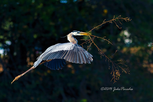 Great Blue Heron with nesting material